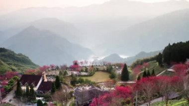 Time-lapse sakura pink flower on mountain in taiwan, cherry blossom — Stock Video