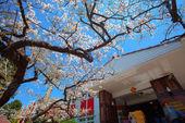 Cherry Alishan, Chiayi, Taiwan — Stock Photo