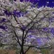 Nice Sakura night scene - Foto de Stock