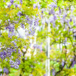 Wisteria — Stock Photo #22626003