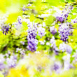 Wisteria — Stock Photo #22886726