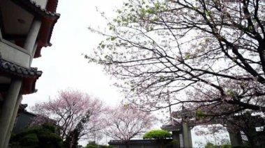 Nice sakura with temple — Stock Video