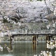 Постер, плакат: Hikone Castle cherry blossoms