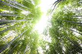 Arashiyama Bamboo trails, Japan — Stock Photo