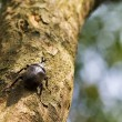 Beetle in Fraxinus suck sap — Stock Photo