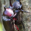Stock Photo: Beetle courtship