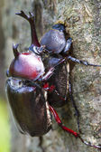Beetle courtship — Stock Photo