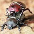 Stock Video: Beetle courtship