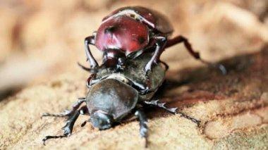 Beetle courtship — Stock Video