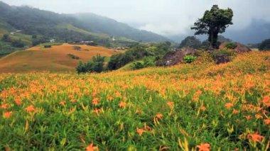 Daylily flower — Stock Video