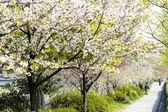 Sakura in Kyoto Japan — Stock Photo