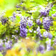 Wisteria — Stock Photo #32000307