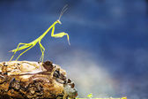 Mantide verde — Foto Stock