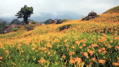 Altmış taş mount daylily çiçek — Stok video