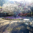 Stock Photo: Plum flower tree in the garden