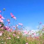 Daisy and blue sky — Stock Video