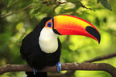 Toucan (Ramphastos toco) — Stock Photo
