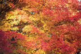 Beautiful Maple in the fall — Stock Photo