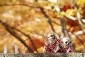 Dog dress traditional cloth — Stock Photo