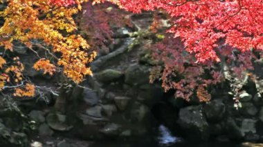 Japanese Maple Trees over River — Stock Video