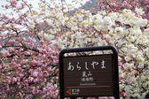 Beautiful sakura place — Stock Photo