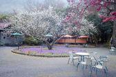 The sakura season of Taiwan — Stock Photo