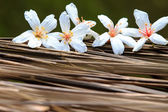 TUNG TREE FLOWER IN May — Stock Photo