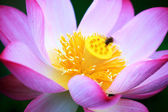 Pink Lotus with nice background — Foto Stock
