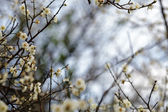 White blossoms in the spring — Foto Stock