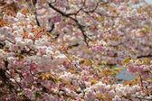 Mooie sakura — Stockfoto