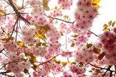 Beautiful sakura — Zdjęcie stockowe