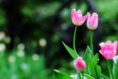 Beautiful tulip with bokeh — Stock Photo