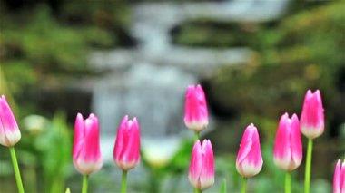 Beautiful tulip with bokeh — Stock Video