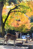 Deer in Nara, Japan, at fall — Stock Photo