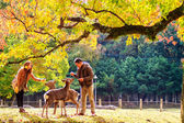 Japanese maple tree and deer in autumn — Stock Photo