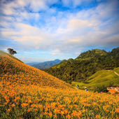 Orange daylily on sixty stone mountain, Taiwan — Stock Photo