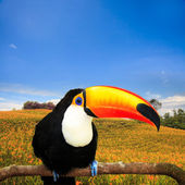 Colorful tucan in the aviary — Stock Photo