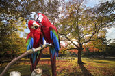 The potrait of Blue & Gold Macaw — Photo