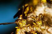 Ninho de vespas — Foto Stock