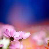 Dwie różowe kwiaty — Zdjęcie stockowe