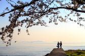 Sakura season in Japan — Stock Photo