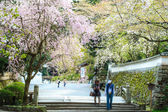 Sanjeong Temple with nice sakura at spring season — Stock Photo