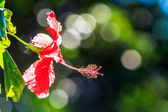Vintage red hibiscus flower — Stock Photo