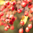 Bunch of hawthorn red berries on the branch - Stock Photo