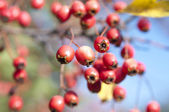Bunch of hawthorn red berries on the branch — Stock Photo