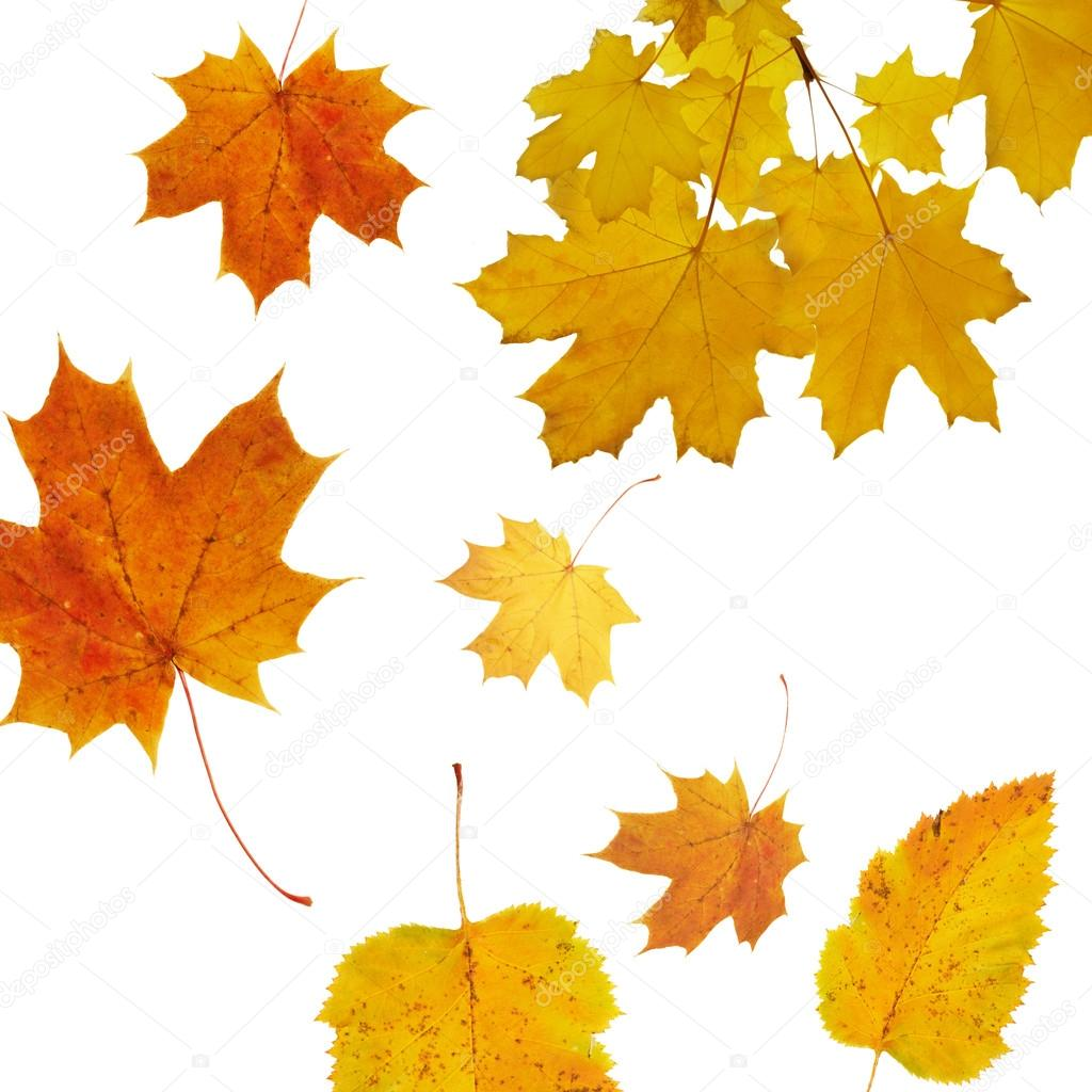 Autumnal background with  Maple tree, season design, selective focus  Stock Photo #12494343