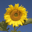 The sunflower — Stock Photo