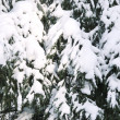 Pine and snow — Stock Photo