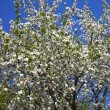 Wild apple tree coverd by flowers — Stock Photo