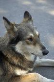 Posa di cane — Foto Stock